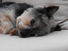 Sleepy Dog (Alastair_Moore) Tags: dog yorkie furry colours terrier sleepy itchy
