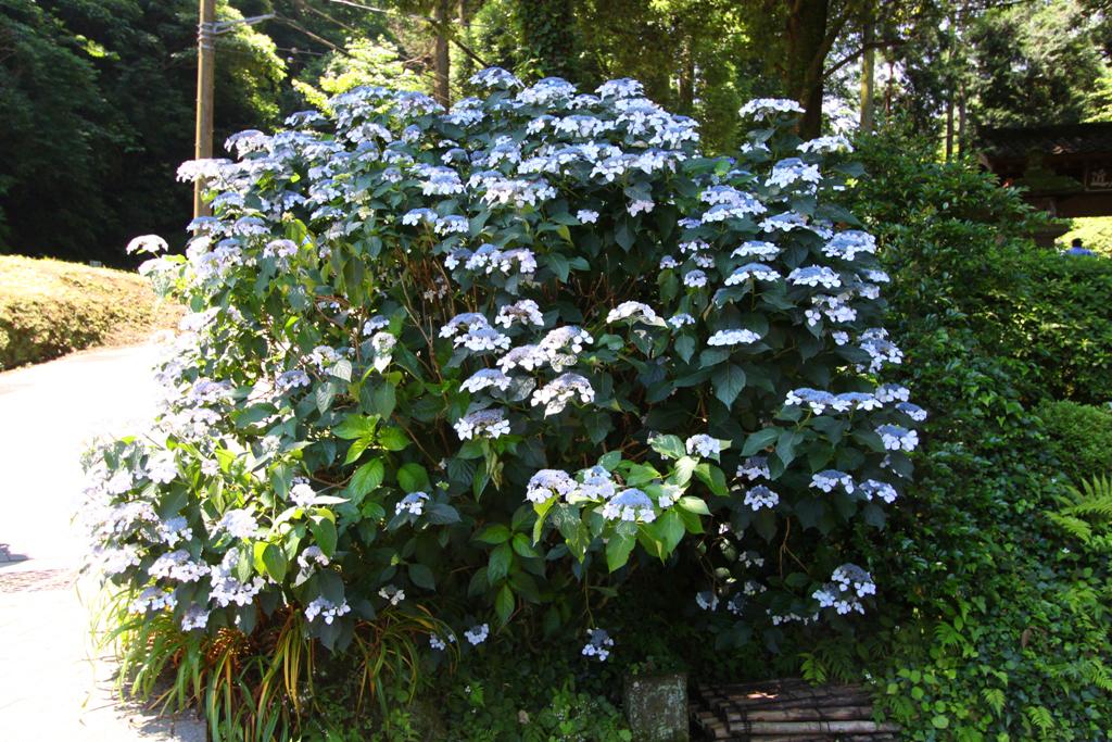 Kita Kamakura Hydrangea spot (19)
