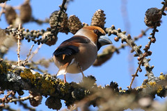 The Hawfinch Coccothraustes coccothraustes