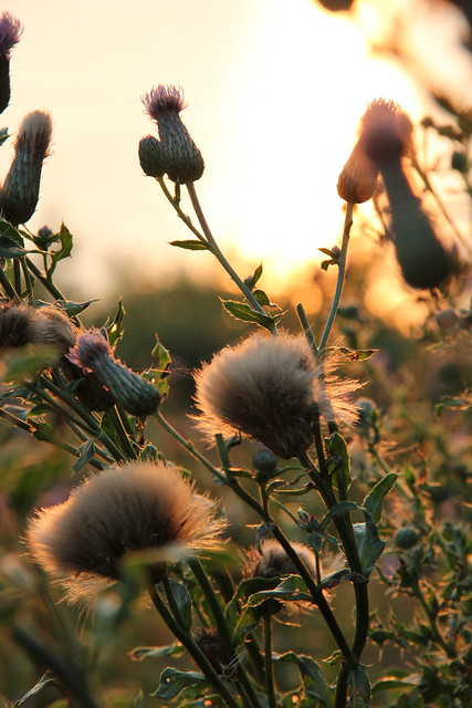 sunset on the thistles