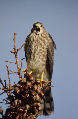 Hawk squawk