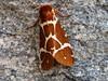 Great Tiger Moth (Arctia caja), Aroostook NWR visitor center