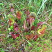 Pitcher plants, reddish