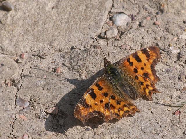 DSC_8412 Peacock butterfly
