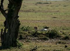 IMG_5143 (walter.innes) Tags: monkey buffalo eagle kenya lions zebra crocodile cheetah giraffe hippo elephants vulture wildebeast hyena stork blackrhino secretarybird lakenaivasha maasimara walterinnes maasitribesman