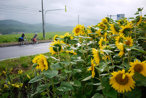 Cycling past sunflowers near Lake Toya, Hokkaido, Japan