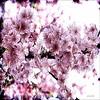 An explosion .. (Rebeca Mello) Tags: pink flowers flores photoshop sony rosa sakura legacy shining tistheseason flordecerejeira cherryflowers cs5 alpha200 sonyalpha200 rebecamello rebecamcmello sbfmasterpiece sbfgrandmaster