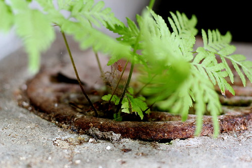 Saturday: fern from the drain