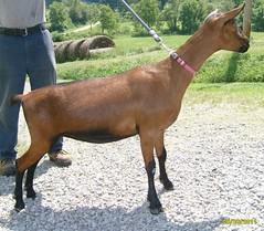 DAIRYLICIOUS GYPSY QUEEN - B001531298 (Erin Cooper Young Living) Tags: goat doe queen american dairy gypsy genetics oberhasli dairylicious adga 110813 goat:sex=doe goat:registry=american goat:breed=oberhasli b001531298 goat:regnumber=b001531298 goat:regname=dairyliciousgypsyqueen
