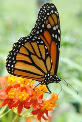 Monarch on Milkweed (jungle mama) Tags: monarch milkweed monarchbutterfly naturesfinest nymphalidae danausplexippus fairchildtropicalbotanicgarden queencaterpillar danainae danaidae queenbutterfly milkweedbutterflies abigfave anawesomeshot wonderfulworldofmacro blinkagain lifecyclemonarchbutterfly danausgilippu