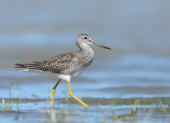 Greater Yellowlegs (Christian Dionne) Tags: bird nikon nikkor 500mm aip greateryellowlegs d90 nikonsuperteles freedomtosoarlevel1birdphotosonly freedomtosoarlevel2birdphotosonly freedomtosoarlevel3birdphotosonly freedomtosoarlevel4birdphotosonly freedomtosoarlevel5birdphotosonly freedomtosoarlevel5birdsonly freedomtosoarlevel4birdsonly