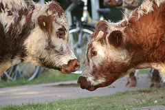 Head to Head (MalB) Tags: cambridge cow cattle stourbridgecommon views100 vogonpoetrygraduate