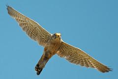Common Kestrel (Falco tinnunculus) with prey (PeterQQ2009) Tags: holland birds falcotinnunculus commonkestrel