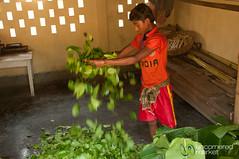 Sorting and Drying Betel Leaves in Khashia Village - Srimongal, Bangladesh (uncorneredmarket) Tags: people bangladesh betel dpn srimongal betelleaf betelleaves ruralbangladesh khashia khashiavillage
