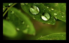 Like peas in a pod (shubd07) Tags: green pod raindrops butterflypea fantasticnature
