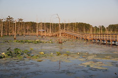 Forest of Cypress Trees In Water (Satin Ribbon) Tags: bridge nature water blossoms structure lilypads cypresstrees nativeplants blackbayou lotusflower