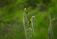 parkieten in de cactussen