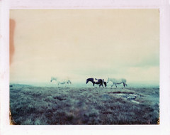 They came to him (emilie79*) Tags: england horses cornwall bodminmoor polaroid180 iduvfilm