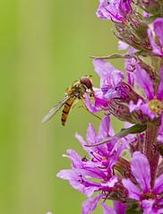 _MG_0022 Hover Fly (Episyrphus balteatus) on Purple Loosestrife (Lythrum salicaria), Brandon Marsh, Warwickshire 12Jul11 (Lathers) Tags: brandon warwickshire hoverfly episyrphusbalteatus nbw canonef300mmf4lisusm brandonmarsh canon7d wildinthemidlands wkwt 12july11