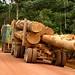Muita madeira sendo extraida