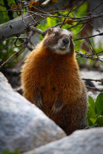 Yellow-bellied marmot-2.JPG