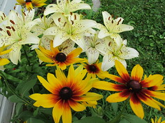 Speckled white lilies & rudbeckia (ali eminov) Tags: flowers lilies rudbeckia blackeyedsusan whitelilies speckledlilies