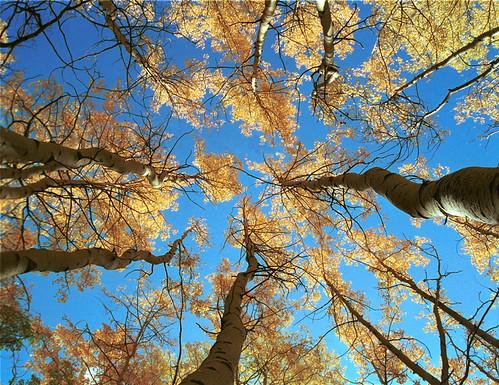Photo - Aspens & Sky