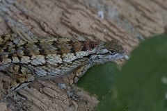 Betsy's egg stealing porch lizard... (mycatfredisfat) Tags: betsys house egg stealing lizard north texas benbrook fort wort tx reptile scales
