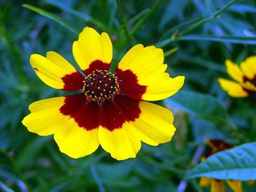ハルシャ菊