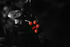 Jewels..... (The Dolly Mama) Tags: red berries edited clusters jewels