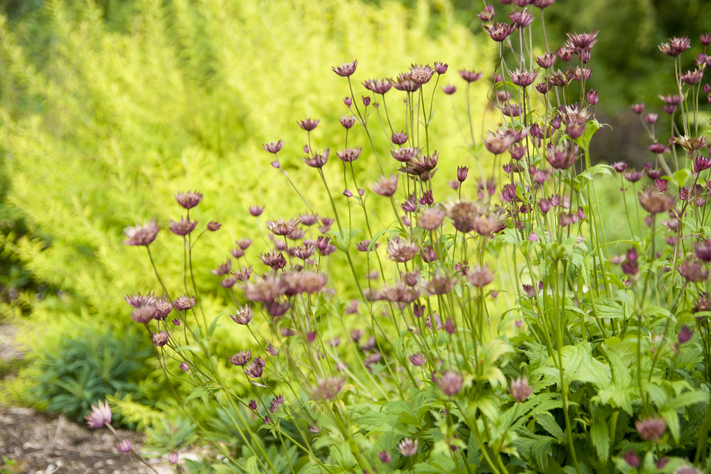 Astrantia and spirea