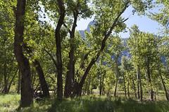 Green Foilage_9835 (hkoons) Tags: california mountain mountains grass northerncalifornia rock nationalpark rocks meadow places valley yosemite granite grasses yosemitenationalpark sierras highsierras yosemitevalley