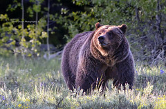 An evening with 399 (Deby Dixon) Tags: bear nature outdoors photography evening nationalpark nikon wildlife sage wildflowers wyoming grizzly tetons sow deby allrightsreserved grizzlybear grandtetonnationalpark 399 2011 naturephotographer debydixon debydixonphotography