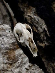 "Kangaroo skull after the bushfires • <a style=""font-size:0.8em;"" href=""http://www.flickr.com/photos/44919156@N00/5965990537/"" target=""_blank"">View on Flickr</a>"