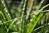 Morning Dew on Grass Leaves (e.nhan) Tags: life light green art nature leaves leaf dof bokeh backlighting enhan