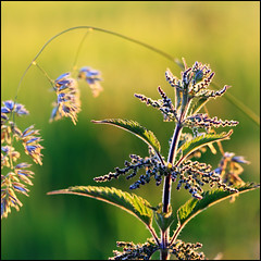 Stingy 2 (angus clyne) Tags: light sunset grass garden ouch golden scotland back time angus sting seed scottish nettle clyne ooch stingy oocha
