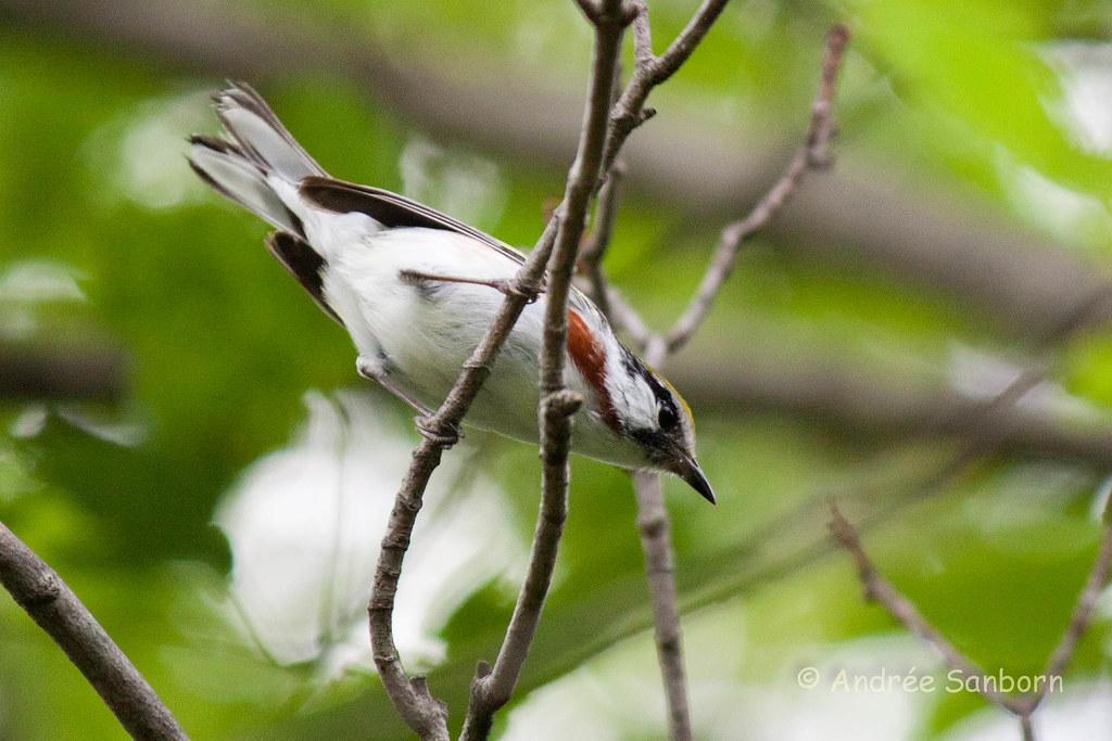 Chestnut-sided Warbler (Dendroica pensylvanica)-1.jpg