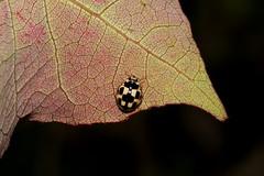 Insekt : Himmugegli / Marienkfer im grossen Moos bei Mntschemier im Kanton Bern in der Schweiz (chrchr_75) Tags: hurni christoph schweiz suisse switzerland svizzera suissa swiss chrchr chrchr75 chrigu chriguhurni 1107 juli 2011 marienkfer himmugegeli ladybug mariquita leppkerttu coccinelle coccinella  lieveheersbeestje joaninha grgri   uur bcei albumgrossesmoos grosses moos niedermoorgebiet niedermoor moor gemse gemsekammer insekt tier animal nahaufnahme detail macro makro chriguhurnibluemailch juli2011 albumzzz201107juli hurni110725