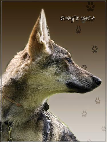 Grey's wolf by cynbb
