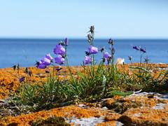 Wild & Free (anng48) Tags: canada bluebells quebec lichen wildflowers qc minganie havrestpierre niapiscau minganislands ilesdemingan gulfofstlaurence