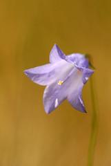 Harebell [Explored] (amylewis.lincs) Tags: uk england plant macro nature nikon britain wildlife sigma lincolnshire british wildflower 180mm campanularotundifolia d3000