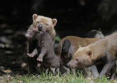 Bush dog puppy retrieval (gentle lemur) Tags: puppy chesterzoo bushdog speothosvenaticus