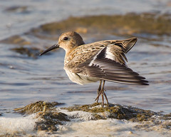Dunlin (Andrew Haynes Wildlife Images) Tags: bird nature rugby wildlife warwickshire wader draycotewater ajh2008