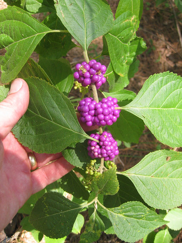 Beautyberries
