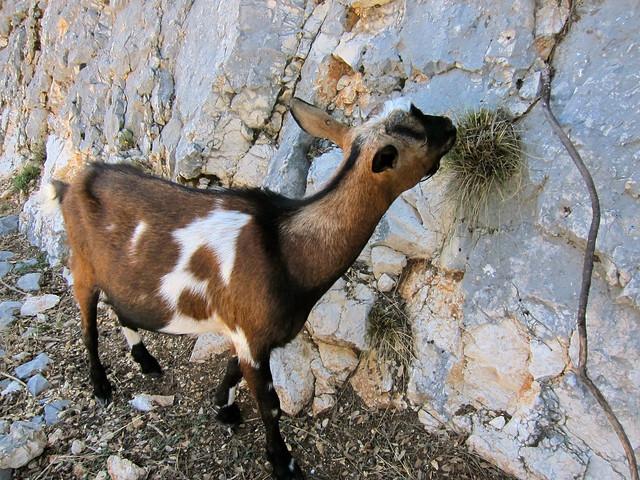 Nice Goat