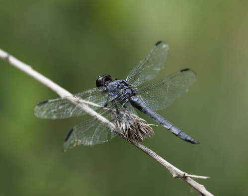 Slaty Skimmer - Trailside Perch