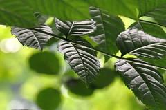 In the light (elerelf) Tags: light shadow plants sunlight colour green nature leaves lines licht leaf bokeh natur pflanze grn blatt bltter farbe schatten linien sonnenlicht top20greenish