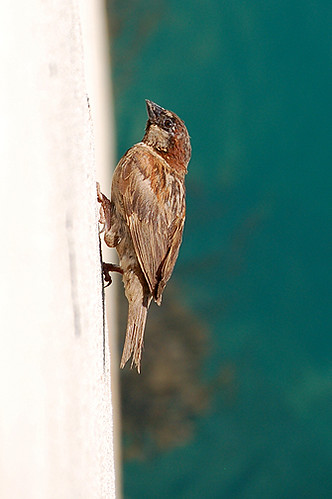 sparrow on wall