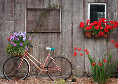 Community Garden (wild.eric) Tags: wood old flowers red summer window bike bicycle barn garden washington community basket northwest decay shed pots frame petunia blooms geraniums anacortes cannas