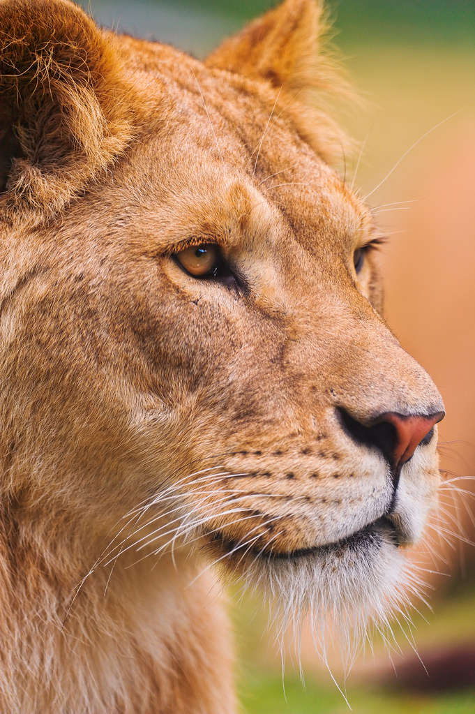 Portrait of the beautiful lioness by Tambako the Jaguar